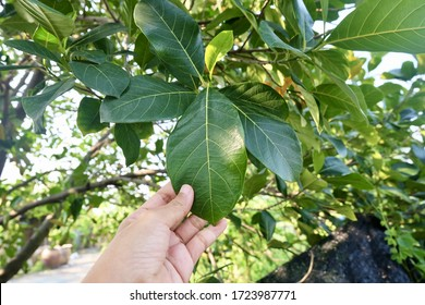 Tropical Fruit, Gardener Holding Carefully Jackfruits or Artocarpus Heterophyllus on Tree Branch for Taking Care of The Farm.