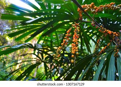 Tropical fruits in tropical jungel