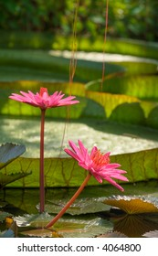 Tropical garden. Exotic flower. Giant lily. (Nymphaea, Victoria cruziana)