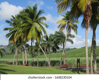 Tropical garden with grass, palm trees, sugar cane and banana plantation with caribbean blue sky.