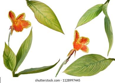 Tropical garden landscaping plant variegated leaves of Canna or Canna Lily with orange yellow beautiful flowers isolated on white background, clipping path included.
