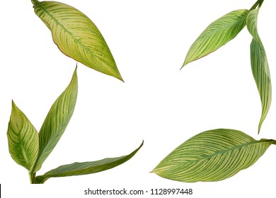 Tropical garden landscaping plant variegated leaves of Canna or Canna Lily isolated on white background with clipping path, nature layout.