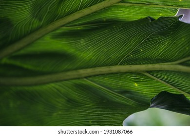 Tropical giants leave. Nature wallpaper. Leaves texture and close up of a tropical flora The macro nature of giant leaves