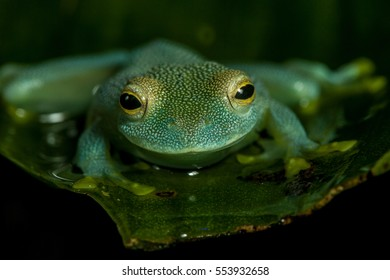 Tropical glass frog on leaf head on view