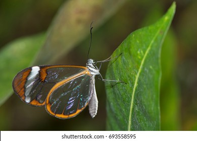 Tropical glass-wing butterfly on a green leaf