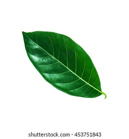 Tropical green leaf isolated on white background, Leaf from natural tropical forest