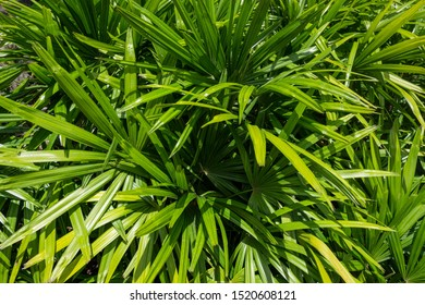 Tropical green leaf of lady palm for background (Rhapis excelsa)