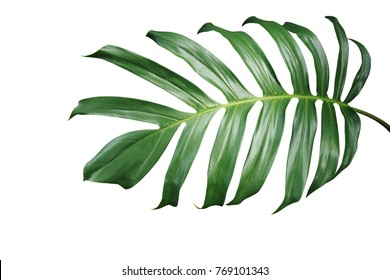 Tropical green leaf of split-leaf philodendron monstera plant isolated on white background, clipping path included.