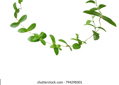 Tropical green leaf vine climber plant isolated on white background, clipping path included.