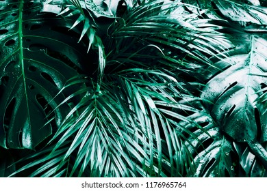 Tropical green leaves background with light and droplets. Palm and Monstera Deliciosa leaf with dark toning, floral jungle pattern concept background, close up