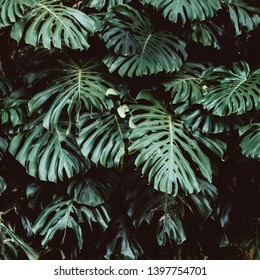 Tropical green leaves background, Monstera Deliciosa leaf on wall with dark toning, jungle pattern concept background, close up. Green leaves of Monstera philodendron plant growing in wild.