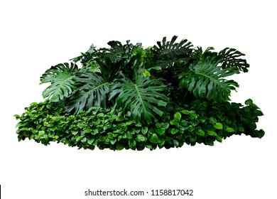 Tropical green leaves  floral plant  monstera bush tree isolated on white background with clipping path