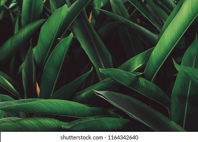 Tropical Green leaves foliage plant  for texture background. The leaf of the plant grow on the river in the rainforest.  nature of the leave surface is under the shade.
