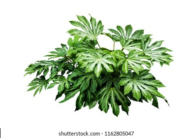 Tropical green leaves plant bush tree isolated on white background and clipping path