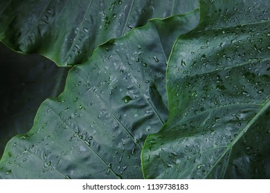 Tropical Green Leaves with Water Drops of Elephant Ear Plant as Background