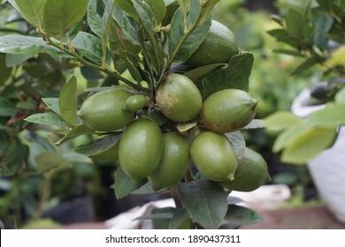 Tropical green lemon on the tree