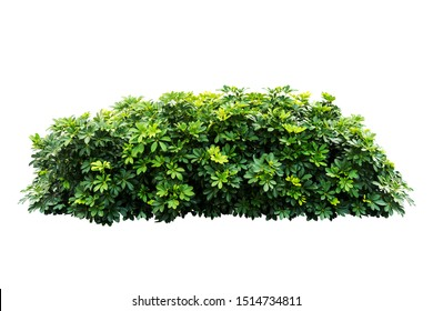 tropical green plant bush tree isolated with clipping path on white background,Schefflera actinophylla