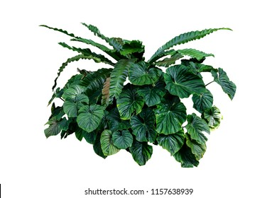 Tropical green plant isolated with clipping path