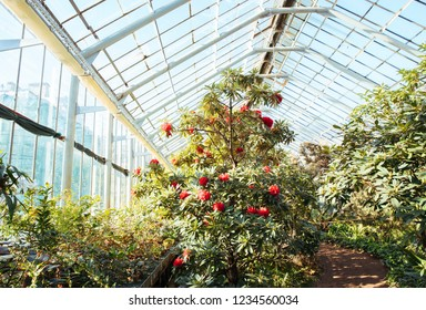 Tropical greenhouse with evergreen flowering plants, blooming azaleas on sunny day with beautiful light, indoors. Exotic plants in old botanical garden, horizontal