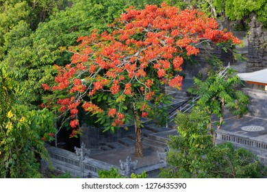 Tropical Gulmohar tree, with flame colored flowers, stands in a Balinese Hindu temple complex