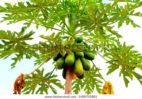 tropical Hawaiian papaya fruit tree