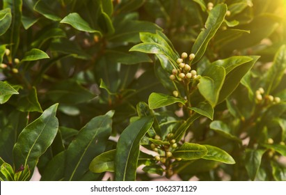 Tropical herb tree - Bay Leaf, the herbal rich of aroma use as ingredient in many foods