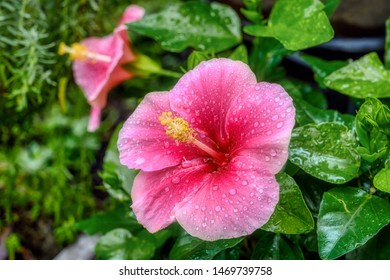Tropical Hibiscus, Hibiscus rosa-sinensis 'Whirlwind'