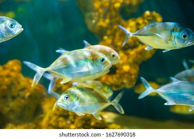Tropical horse-eye jack (Caranx latus) fishes in aquarium as nature underwater sea life background