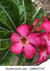 Tropical Hot Pink Adenium Flowers