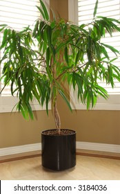 Tropical house plant in a pot and windows with blinds