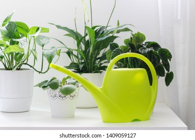 Tropical house plants, peperomia,pothos,ivy,fittonia, asplenium in white pots and green watering can on the table
