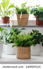 Tropical house plants in white pots on the table, peperomia,pothos, fettonia,asplenium and ivy