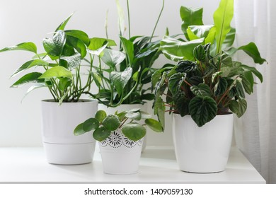 Tropical house plants in white pots on the table, peperomia,pothos,asplenium and spathiphilum