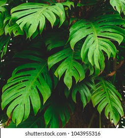 Tropical jungel foliage,Green leaves nature background