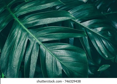 tropical jungle foliage, dark green leaf nature background