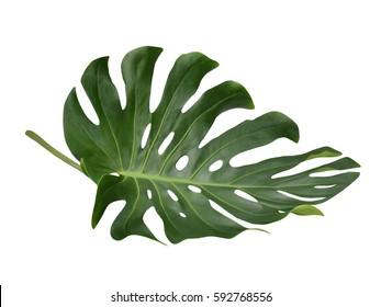 Tropical Jungle Leaf, Monstera, resting on flat surface, isolated on white background, also called Swiss Cheese plant