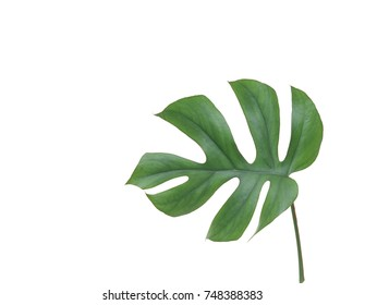 Tropical jungle Monstera leave isolated, Swiss Cheese Plant