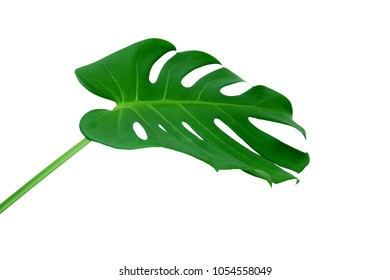 Tropical jungle Monstera leaves isolated, Swiss Cheese Plant, isolated on white background,with clipping path