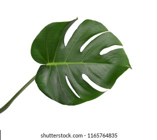 Tropical jungle monstera leaves isolated, swiss cheese plant, isolated on white background