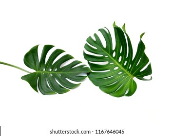 Tropical jungle Monstera leaves isolated, Swiss Cheese Plant, is