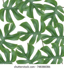 Tropical jungle Monstera leaves isolated, Swiss Cheese Plant