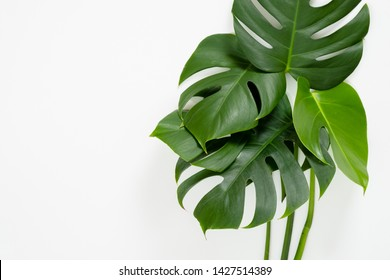 Tropical jungle monstera leaves on white background. Flat lay, top view