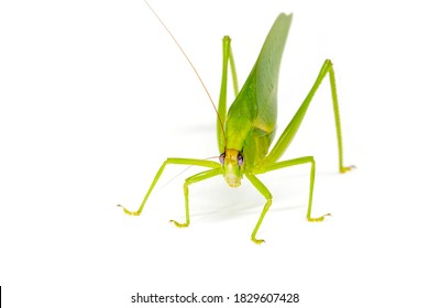 Tropical katydid on white background studio photo. Large grasshopper female isolated. Tropical insect macro photo. South Asia biodiversity. Green katydid with ovipositor and egg. Exotic entomology