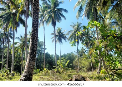 Tropical landscape . Farm of coconut trees . Philippines.