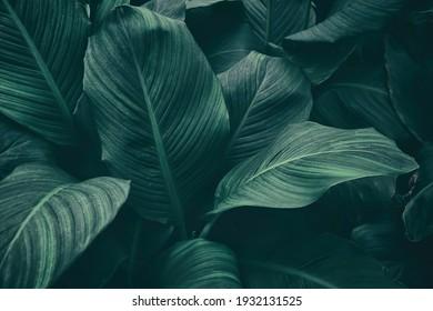 tropical leaf, dark green foliage, botanical nature background