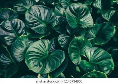 tropical leaf, dark green lush foliage in rainforest, nature background