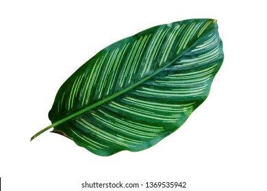 tropical leaf, lush exotic foliage isolated on white background, ornamental plant, clipping path included.