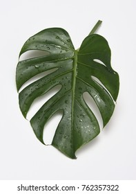 tropical leaf over white background, Caladium leaf
