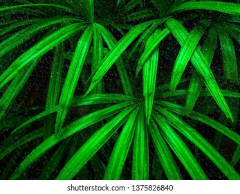Tropical leaf in raining texture background, dark green foliage are shaped like tiny spikes