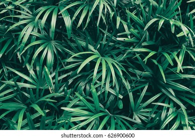tropical leaf texture background, dark green foliage are shaped like tiny spikes
